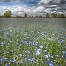 Field of Blue by geoff curtis