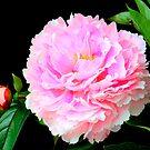 Pink peony on black by Debu55y