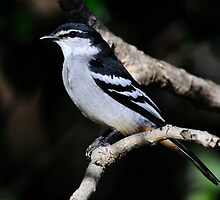 Varied Triller Taken at Mackay by Alwyn Simple