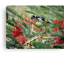 New Holland Honey Eater and Red bottle brush Canvas Print