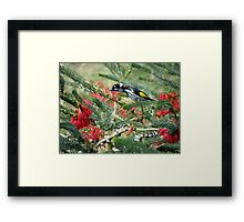 New Holland Honey Eater and Red bottle brush Framed Print