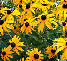 Black-Eyed Susan Riot by Linda  Makiej