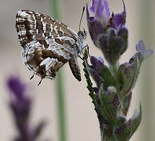 Cacyreus marshalli (Lycaenidae) by Astrid Ewing Photography