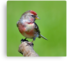 Lesser Redpoll ~ male Canvas Print