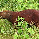 Capybara - Amazon Basin by Honor Kyne