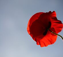 Poppy reaching up to the sky by yampy