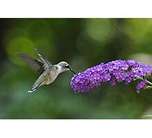 Hummingbird on butterfly bush Photographic Print