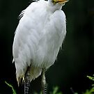 Juvenile Great White Egret by Joe Jennelle