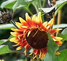 Two  Toned Sunflower by lynn carter