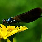 Banded Demoiselle by Russell Couch