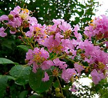 Bloomy Tree Flower Crepe Myrtle North Carolina by Jonathan  Green