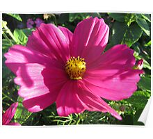 Pink Cosmea Poster