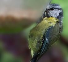 Blue Tit by Chris Clark