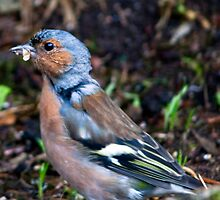 Chaffinch by Chris Clark