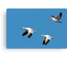 Three Snow Geese in Flight Canvas Print