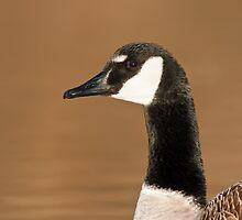 Canada Goose Portrait by Michael Mill