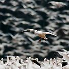 Snow Goose Landing in Large Flock by Michael Mill