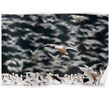 Snow Goose Landing in Large Flock Poster