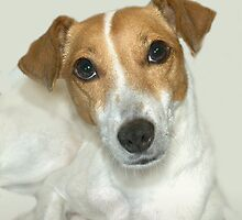 jack russell new by BYRON