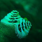 xmas tree worm coral bay western australia by peterbeaton