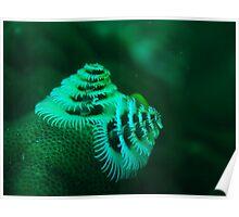 xmas tree worm coral bay western australia Poster