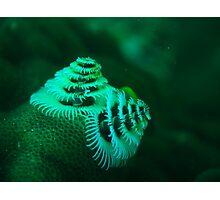 xmas tree worm coral bay western australia Photographic Print