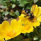 Pollen Collector by Jill Vadala