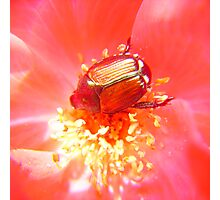 Rosy Japanese Beetle Photographic Print