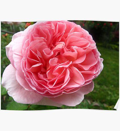Rose florets Poster