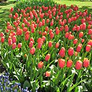 Ladies in Red - Dazzling Red Tulips by BlueMoonRose