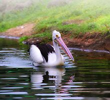 Australian Pelican (Please Enlarge) by Charuhas  Images