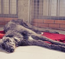 I Am An Irish Wolfhound by katieweychardt