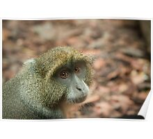 Diademed (Blue) monkey Poster