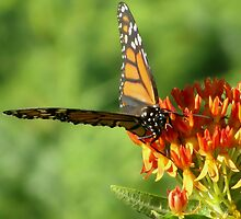 Monarch Geometry by shutterbug2010