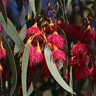 Flowering Gum Tree by Jane McDougall