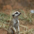 Meerkat watching by Francois Fourie