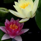 Colors of the Water Garden....   Pink and Yellow waterlily by mikrin