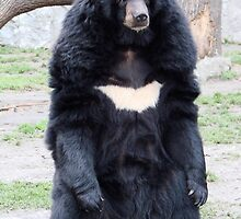 Adorable Asiatic Black Bear