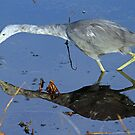 Little blue heron(immature)with reflection by jozi1