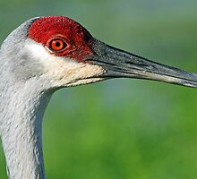 Sandhill crane in profile by jozi1