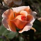 orange Rose by Dean Messenger