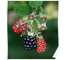 blackberries ripening Poster