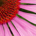 Echinacea by Sue Payne