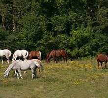 NNEP Horses III - Ottawa, ON by Tracey  Dryka