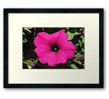 Pretty Pink Petunia Framed Print