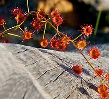 Wandering Sundew by Rick Playle