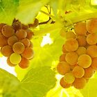 Grapes A fine Art Photography Print and Canvas Art by Bo Insogna