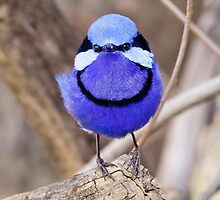 Splendid fairy Wren, Perth Western Australia by Marc Russo