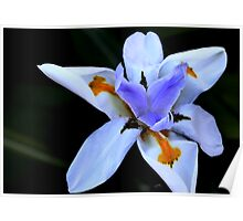 Dietes grandiflora - the Fairy Iris Poster