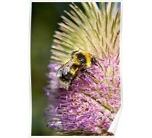 The teasel pollen bar is open Poster